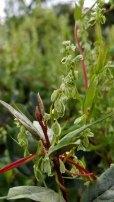 Climbing False Buckwheat (Fallopia scandens)