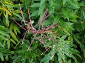 Fireweed (Chamerion angustifolium ssp. Angustifolium) Fruit