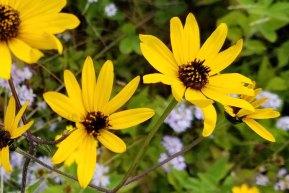 Hairy Wood Sunflower (Helianthus atrorubens)