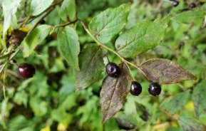 Southern Mountain Cranberry (Vaccinium erythrocarpum) Fruit