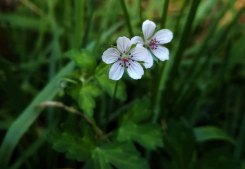 Differentiated from Geranium sibiricum by being 2-flowered