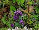 Stiff Gentian; Agueweed (Gentianella quinquefolia)