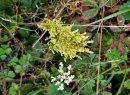 Possibly a Dissected Grape Fern (Botrychium dissectum)