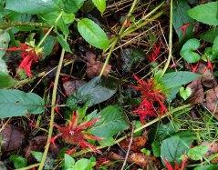 Scarlet Beebalm (Monarda didyma)