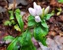 Possibly Showy Gentian (Gentiana decora)