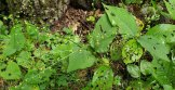 Jumpseed (Persicaria virginiana) Fruit