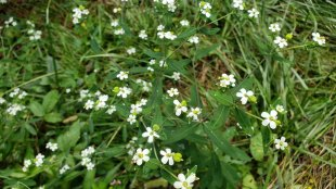 Flowering Spurge (Euphorbia corollata) Blooms and Fruit