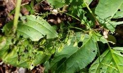 Appalachian Bunchflower (Veratrum parviflorum) Seeds