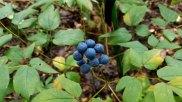 Blue Cohosh (Caulophyllum thalictroides) Fruit