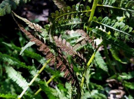Silvery Glade Fern (Deparia acrostichoides) Spores