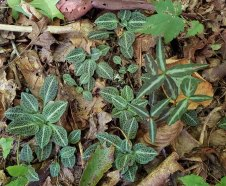Mix of Downy Rattlesnake Plantain (Goodyera pubescens) & Spotted Wintergreen (Chimaphila maculata)
