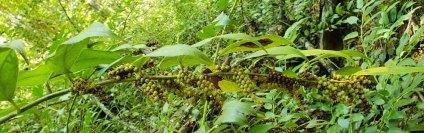 Dog Hobble (Leucothoe fontanesiana)