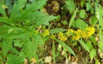 Curtis' Goldenrod (Solidago curtisii)