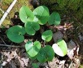 a Heartleaf (Hexastylis sp.)