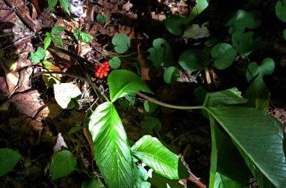 Jill-in-the-Pulpit (Arisaema triphyllum) Fruit