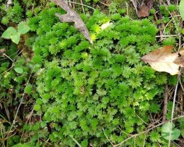 Rose Moss (Rhodobryum roseum)
