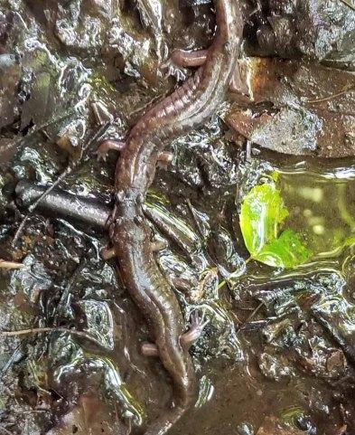 Salamander Conflict