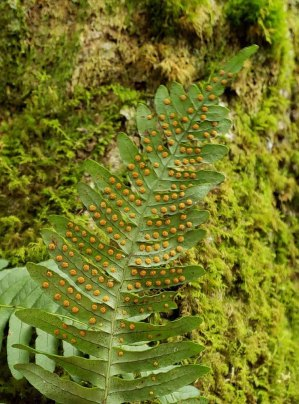 Possibly Appalachian Rock Cap Fern (Polypodium appalachianum)