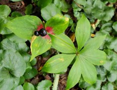 Indian Cucumber Root (Medeola virginiana) Fruit