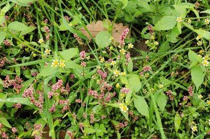 Peruvian Daisy (Galinsoga quadriradiata) & Long-bristled Smartweed (Persicaria longiseta)