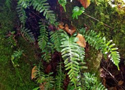 Possibly Appalachian Rock Cap Fern (Polypodium appalachianum)