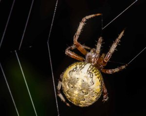 Marbled Orbweaver Spider (Araneus marmoreus)