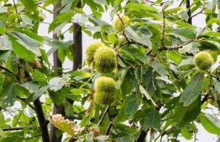American Chestnut (Castanea dentata) Fruit