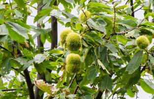 American Chestnut (Castanea dentata) Fruit
