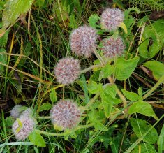 Wild Basil (Clinopodium vulgare)