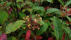 Wild Raisin (Viburnum nudum var cassinoides)