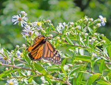 Monarch Butterfly and Aster