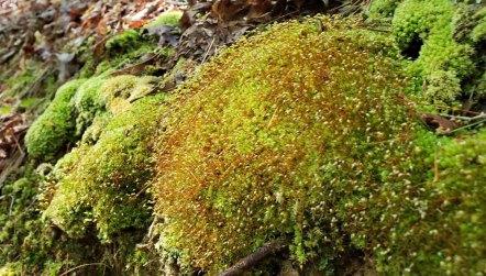 a Pincushion Moss (Leucobryum sp.)