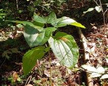 Biltmore Carrion Flower (Smilax biltmoreana)