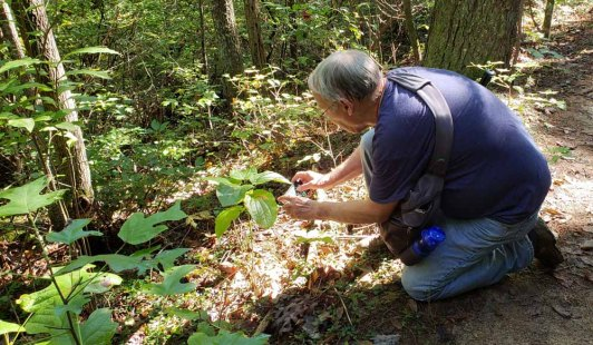 Capturing the Biltmore Carrion Flower (Smilax biltmoreana)