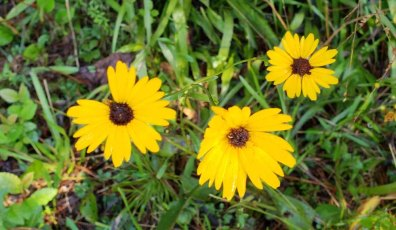 Possibly Swamp Coreopsis, Swamp Tickseed (Coreopsis gladiata)