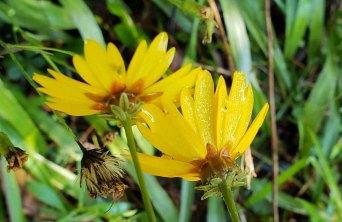 Possibly Swamp Coreopsis, Swamp Tickseed (Coreopsis gladiata)