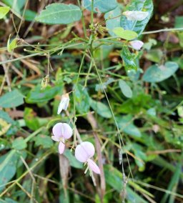 a Tick Trefoil (Desmodium sp.)