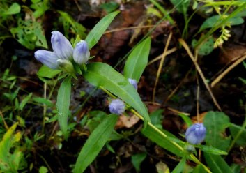 a Gentian (Gentiana sp.) possibly G. saparonia?