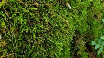 a Spoon Moss (Bryoandersonia sp.)