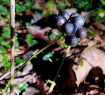 Biltmore Carrion Flower (Smilax biltmoreana) Fruit