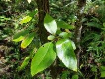 Climbing Hydrangea (Decumaria barbara)