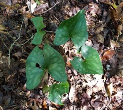 Little Brown Jugs (Hexastylis arifolia)
