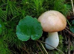 Stove Pipe Mushroom