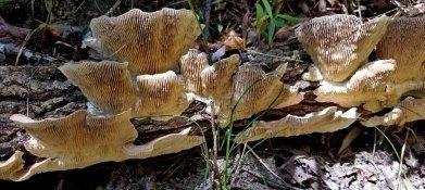 Turkeytail Mushrooms (Bottom)