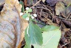 a Skullcap (Scutellaria sp.)