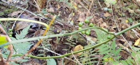 Greenbrier; Catbrier (Smilax rotundifolia) Berries