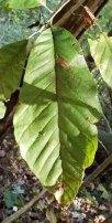 Cucumber Tree (Magnolia acuminata)