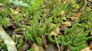 Shining Clubmoss (Huperzia lucidula)