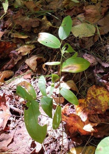 Wild Oats (Uvularia sessilifolia) Fruit