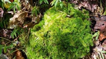 Pretend Pincushion Mosses